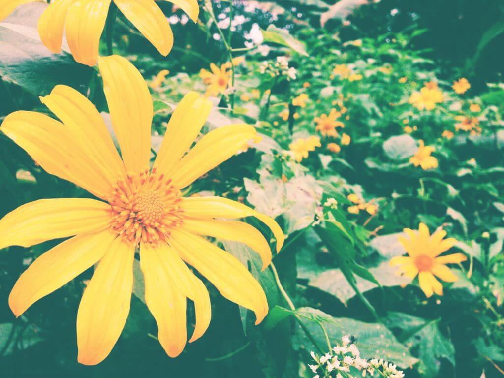 Gorgeous yellow flowers in Chiang Dao   Go to Thailand