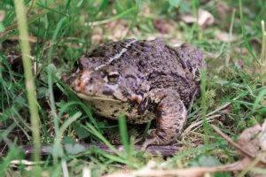 Frog: Camp at Silver Lake in Hope BC