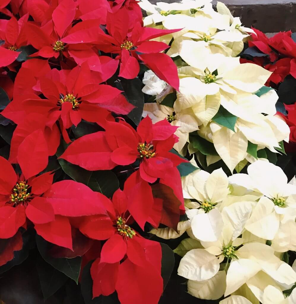 Poinsettias in Mexico City | Christmas in Mexico City